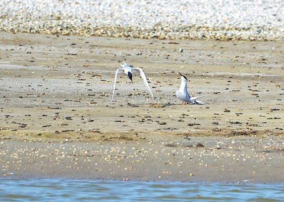 Fluss-Seeschwalbe (Sterna hirundo) Balzflug