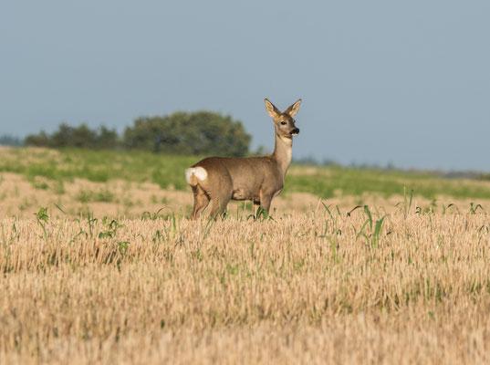 Deer, Germany