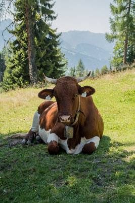 Cow, Austria