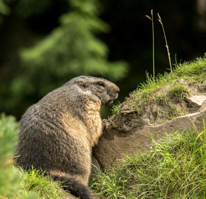 Marmot, Austria