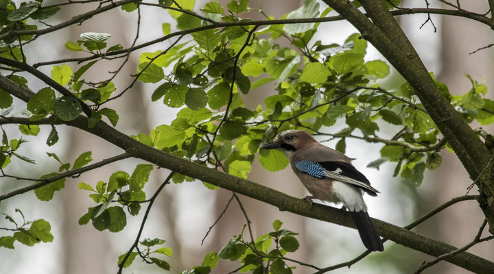 Jay, Germany