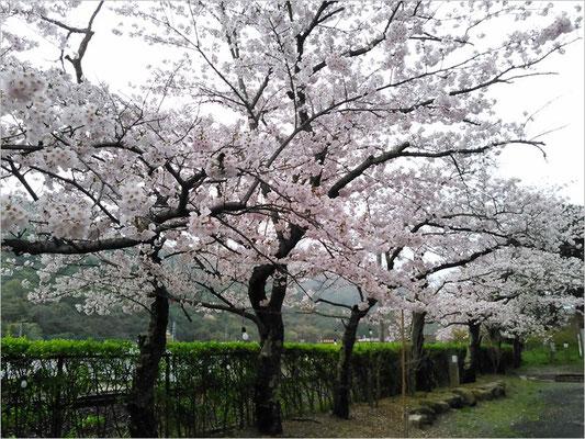 陶山神社の桜の写真