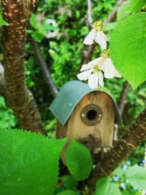 Kirschblüte und Vogelhaus