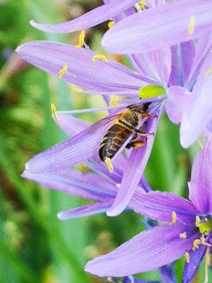 Bereits seit März diesen Jahres habenwir zahlreiche Bienen.