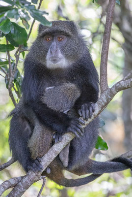 Affen - allgegenwärtig.
