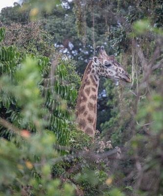 Eine Giraffe mitten im Wald.