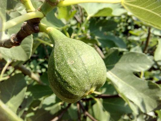 "Echter Feigenbaum ""Essfeige"" | Ficus carica"