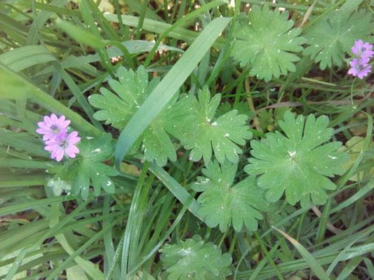 Pyrenäen Storchenschnabel | Geranium pyrenaicum