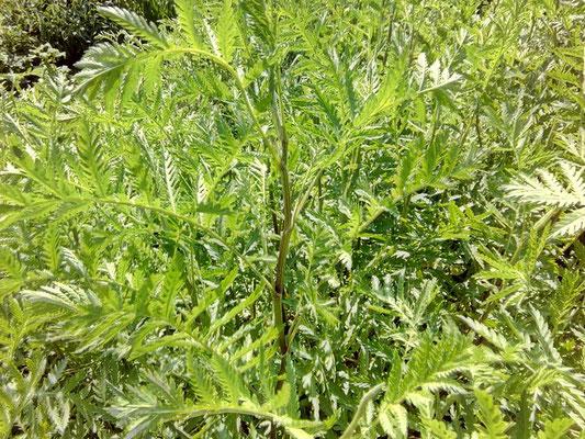 Rainfarn | Tanacetum vulgare