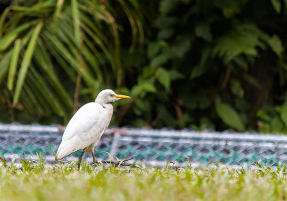 Cattle Egret (Bubulcus ibis) -- Peru / Centro De Rescate Taricaya