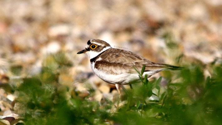 Flussregenpfeifer / Little Ringed Plover (Charadrius dubius)
