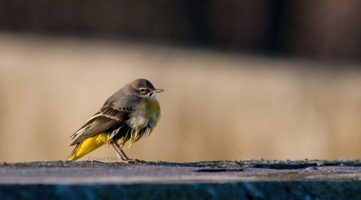 Grey Wagtail  (Motacilla cinerea)    --  Luxembourg