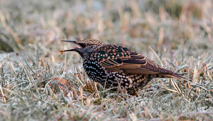 Common Starling     (Sturnus vulgaris)  -- Luxembourg