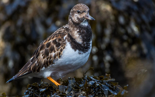 Ruddy Turnstone          (Arenaria interpres)  --  Zeeland / Netherlands -- January 2015