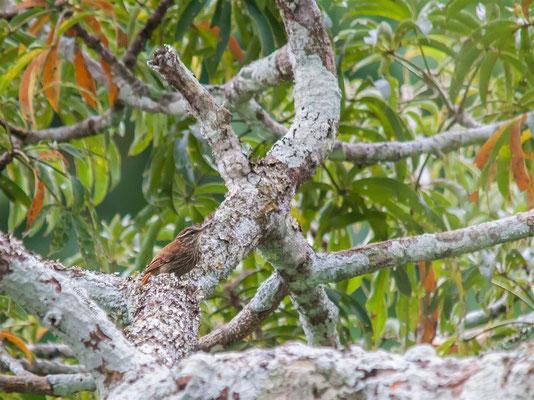 Streaked Xenops (Xenops rutilans) -- Peru / Centro De Rescate Taricaya