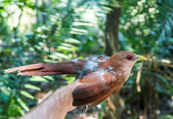 Squirrel Cuckoo (Piaya cayana) -- 2016