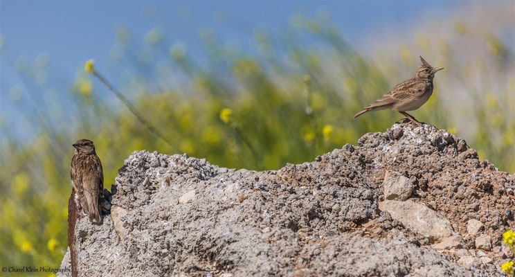 Rock Sparrow (Petronia petronia) -- Birding Turkey 2015