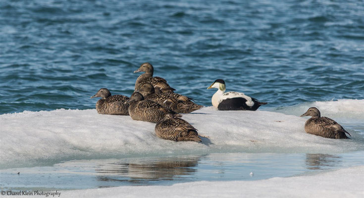 Common Eider (Somateria mollissima)  --  Trail / Karupelv Valley Project / Greenland  --  2015