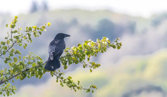 Aaskrähe  |  Carrion Crow  (Corvus corone)  -- Kaiserstuhl / Germany
