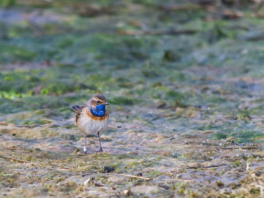 Bluethroat         (Luscinia svecica)    --  Luxembourg