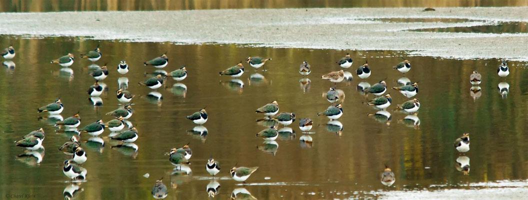Northern Lapwing (Vanellus vanellus) -- & -- Sociable Lapwing (Vanellus gregarius) --  Belgium