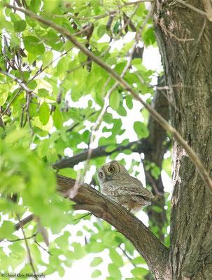 Pallid Scops Owl    (Otus brucei)    --    Birecik / Birdingtrip Turkey 2015