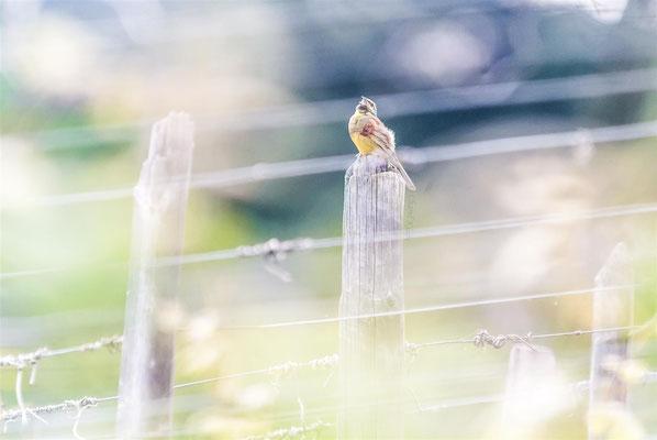 Cirl Bunting (Emberiza cirlus)  -- Niedermorschwihr / France