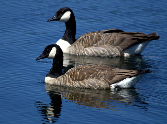 Canada Goose    (Branta canadensis) -- Luxembourg