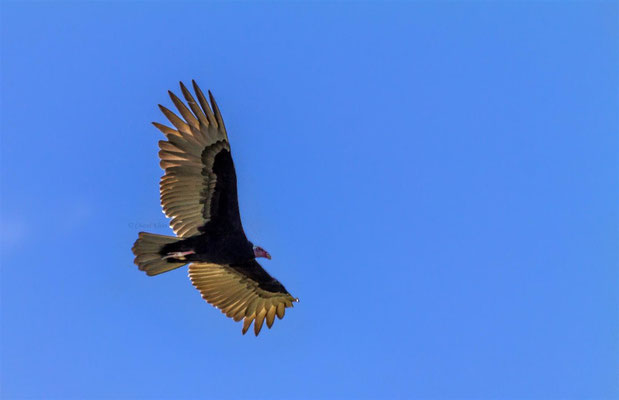 Turkey Vulture    (Cathartes aura)  -- Peru / Centro De Rescate Taricaya