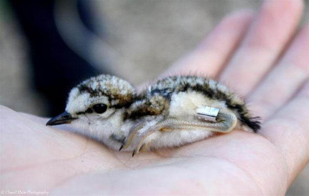 Common Sandpiper chick