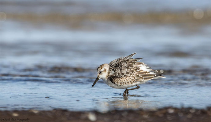 Sanderling    (Calidris alba)   --   Darss / Germany   --   September 2014