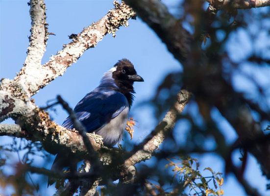 Violaceous Jay (Cyanocorax violaceus) -- Peru / Centro De Rescate Taricaya