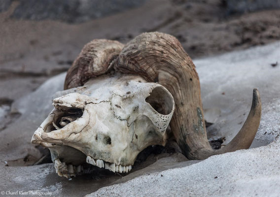 Old mosk ox carcass