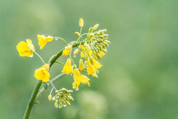 European flowers
