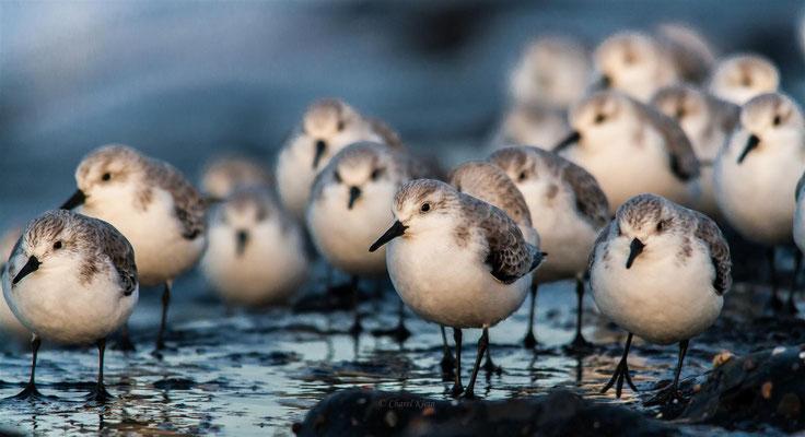 Sanderling   (Calidris alba)   --   Zeeland / Netherlands   --   Dezember 2012