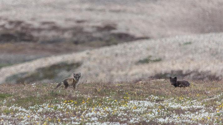 Arctic fox burrow with 4 juveniles foxes - white & blue morphe