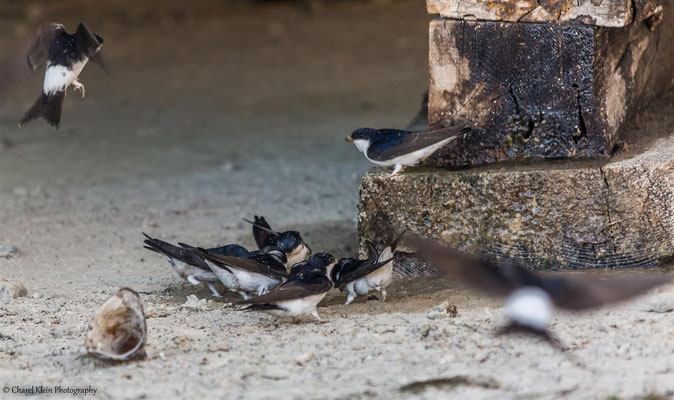 Common House Martin    (Delichon urbicum)  --  Turkey