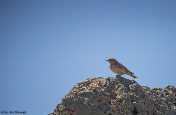Pale Rock Sparrow (Carpospiza brachydactyla) -- Birdingtrip Turkey 2015