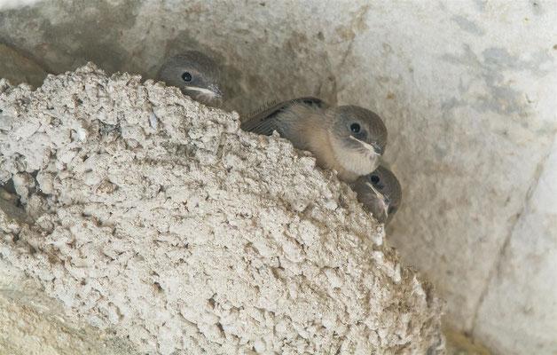 Mauersegler     Common Swift     (Apus apus)