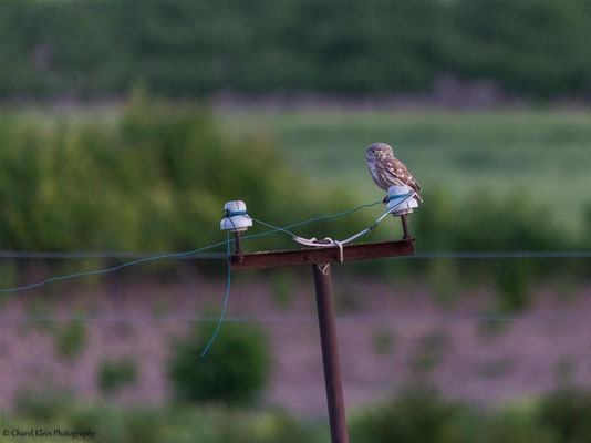 Little Owl ssp. lillith    (Athene noctua lillith)    -- Birdingtrip Turkey 2015