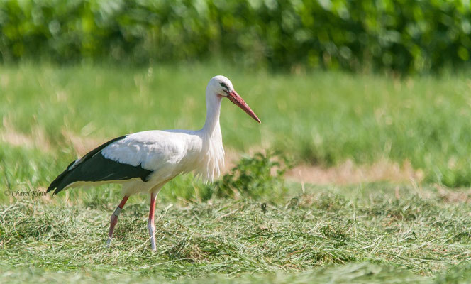 White Stork (Ciconia ciconia) -- Alsace / France