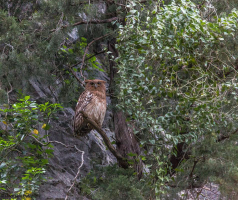 Brown Fish Owl    (Bubo zeylonensis)   --  Birdingtrip Turkey 2015