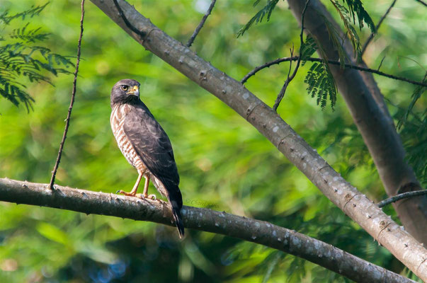 Bicoloured Hawk (Accipiter bicolor) -- Peru / Centro De Rescate Taricaya -- July 2013