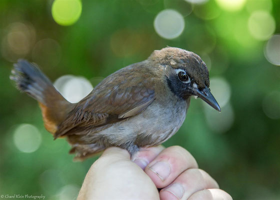 Black-faced Antthrush (Formicarius analis) -- 2016
