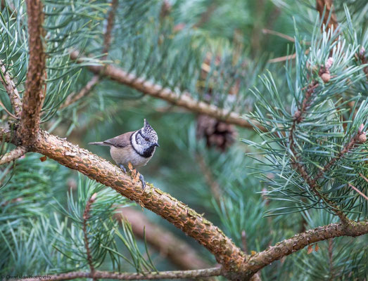 European Crested Tit   (Lophophanes cristatus)   --   Darss / Germany   -- September 2014