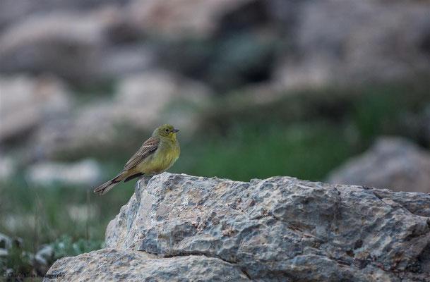 Cinereous Bunting    (Emberiza cineracea)    -- Birdingtrip Turkey 2015