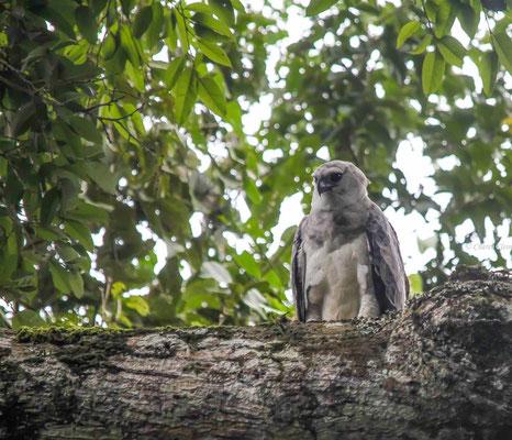 Harpy Eagle   (Harpia harpyia)   -- Peru / Centro De Rescate Taricaya