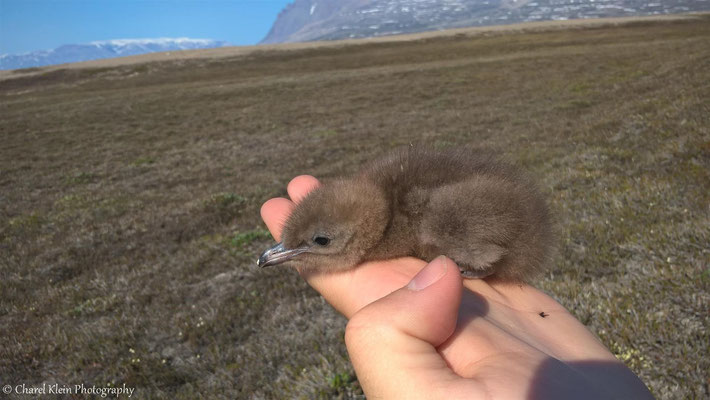 Long-tailed Skua chick