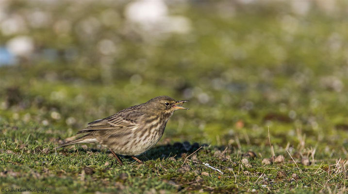 Eurasian Rock Pipit (Anthus petrosus) -- Zeeland / Netherlands -- December 2014