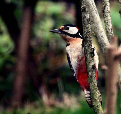 Buntspecht    Great Spotted Woodpecker (Dendrocopos major)